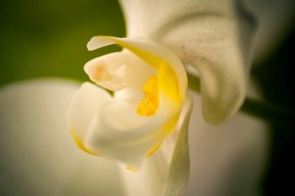 orchid orquidea