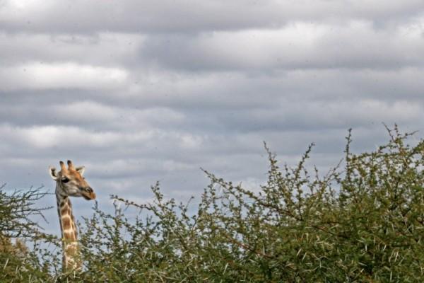 Giraffe in Clouds