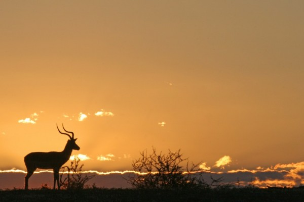 Kudu in Sunset