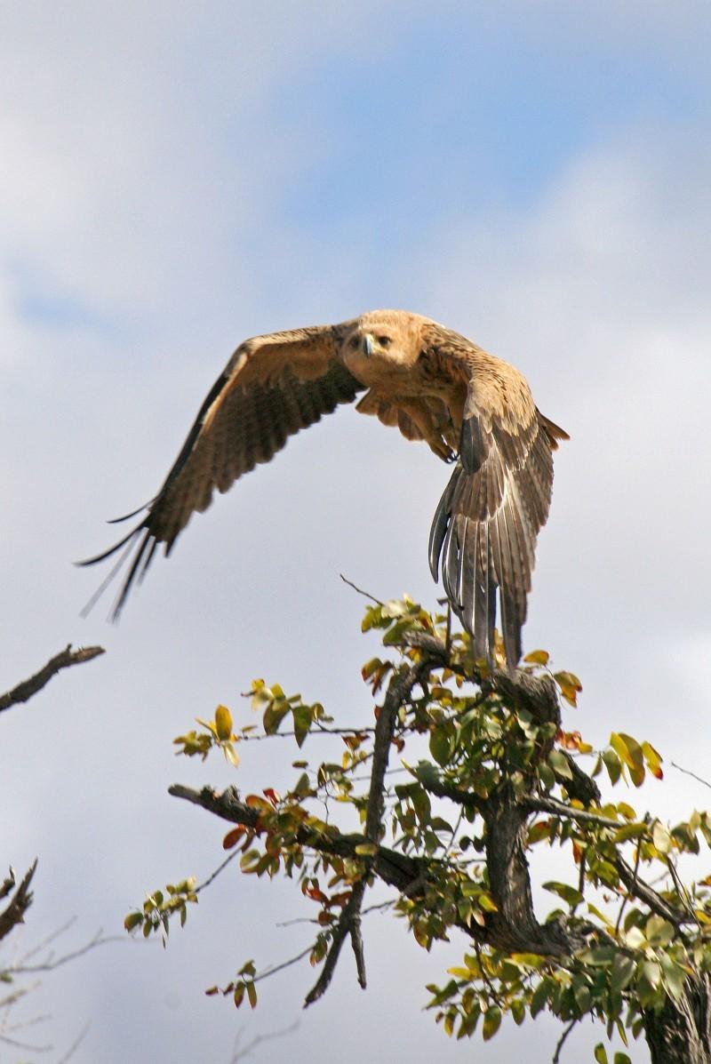 tawny eagle takes flight