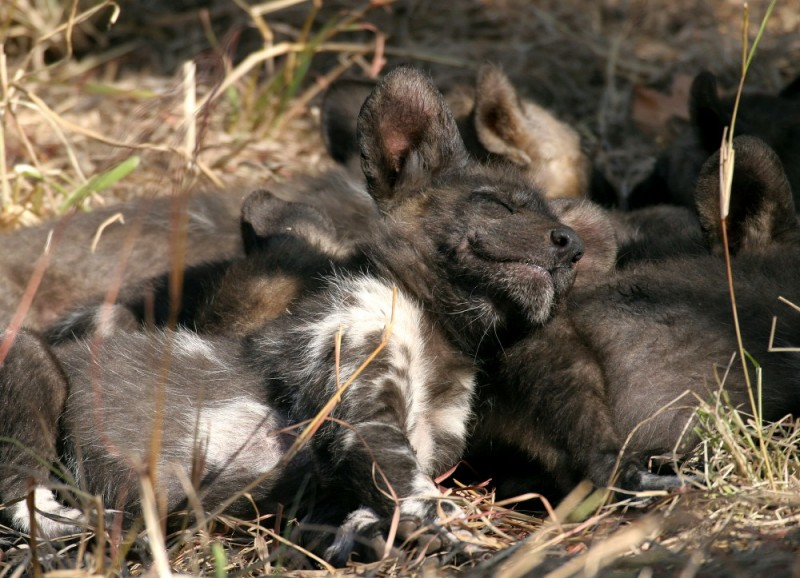 African wild dog pup at Mala Mala (South Africa)