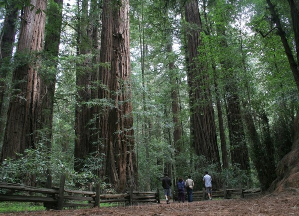 Redwoods in Santa Cruz