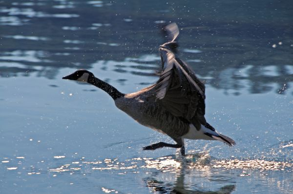 Goose taking flight