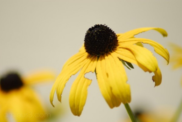 Black-Eyed Susan Macro