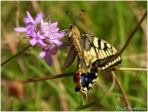 Papilio Machaón