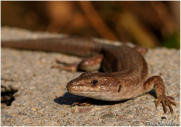 Lagartija- Small Lizard