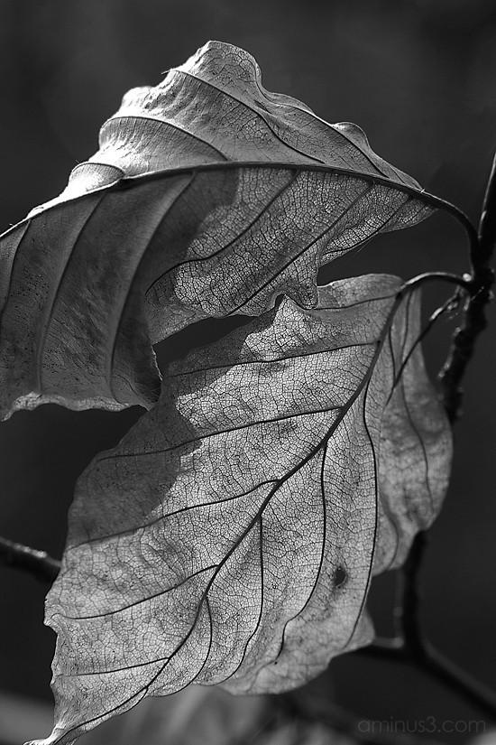 leaves in B&W
