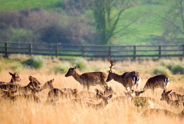 grupo de gamos - fallow deer group