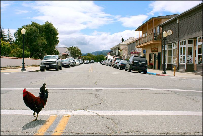 Chicken Crossing the Street