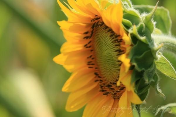 Sunflower in cornfield