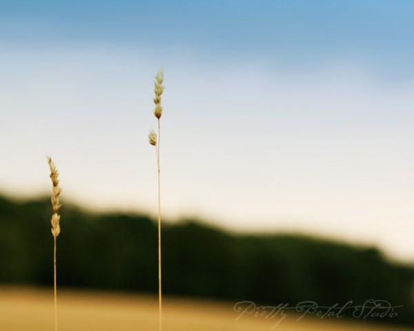 Minimalist photo of wheat field