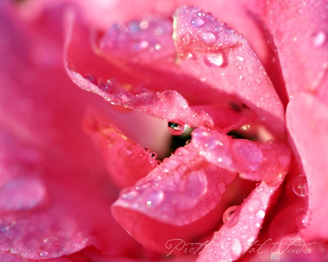 Macro shot of pink rose with dewdrops