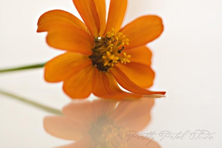 Orange flower reflected in plexiglass