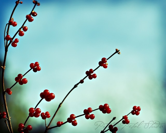 Red Berries on Blue background