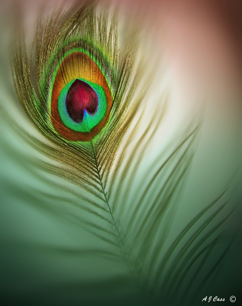 The heart of a peacock II