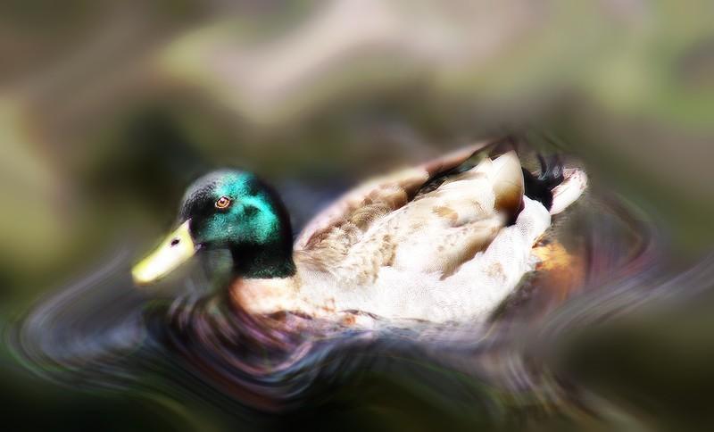 Dreamy duck