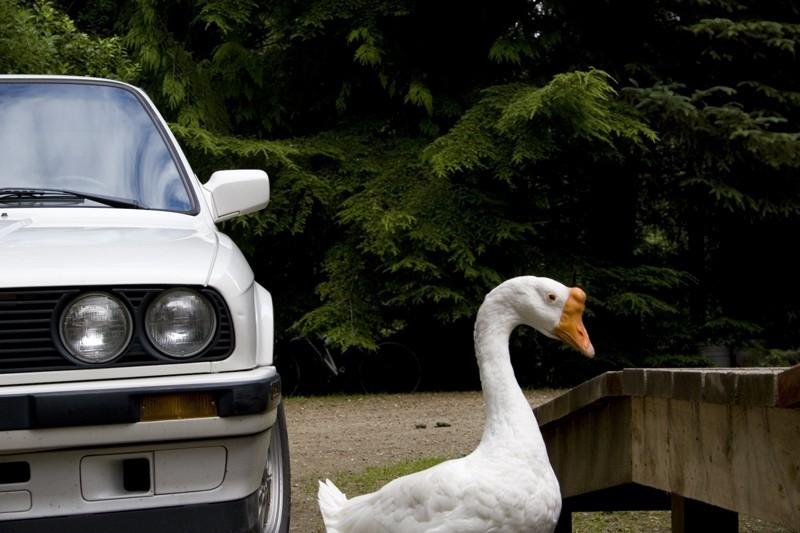 Loose goose.