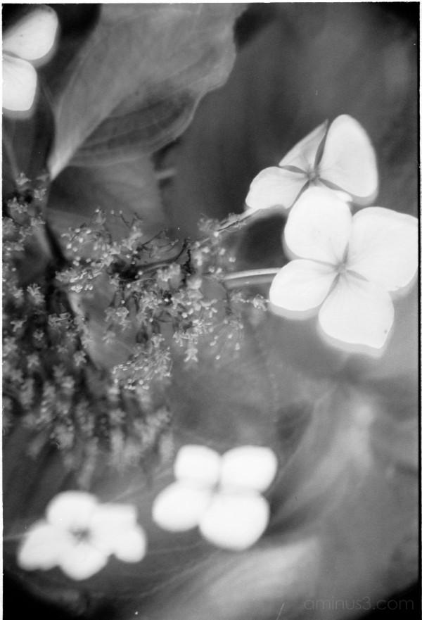アジサイ あじさい 花 東京 tokyo hydrangea flowers
