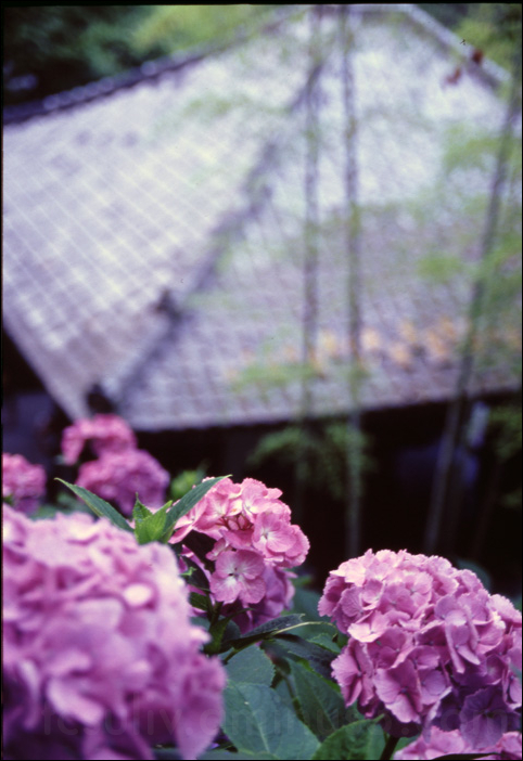 アジサイ あじさい 花 花満開 鎌倉 kamakura hydrangea flowers