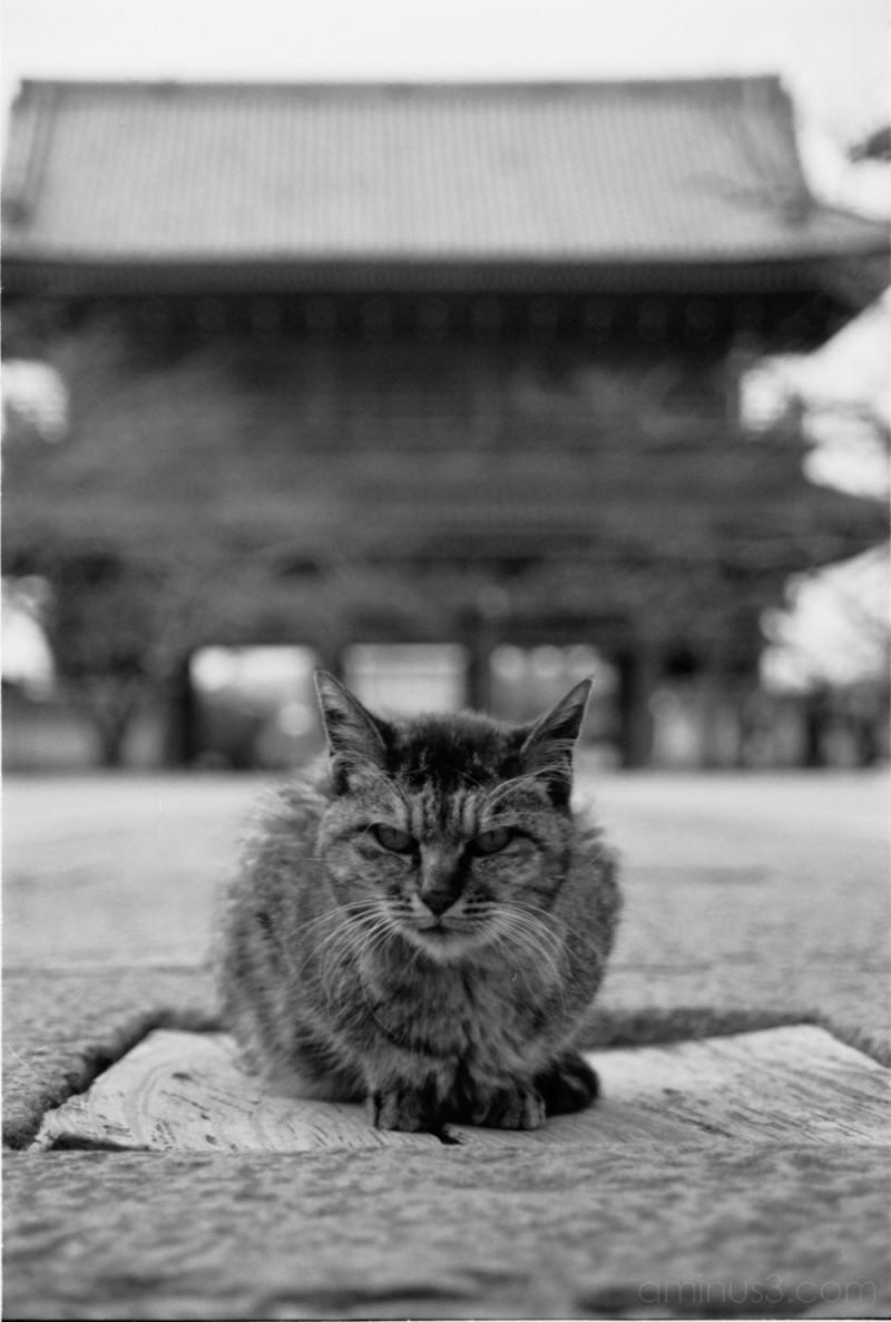temple cat in kamakura 鎌倉 黒猫写真 黒猫