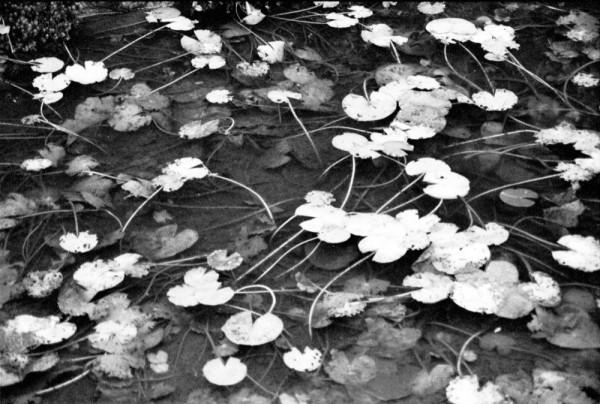 pond and lotus 池とはす 花