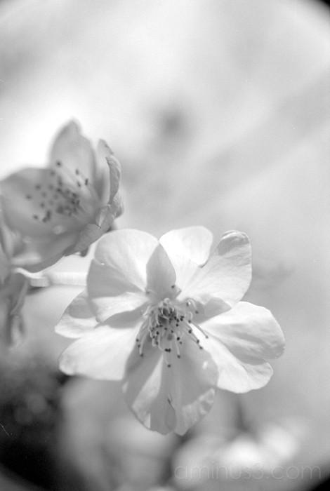sakura cherry blossom flower 河津