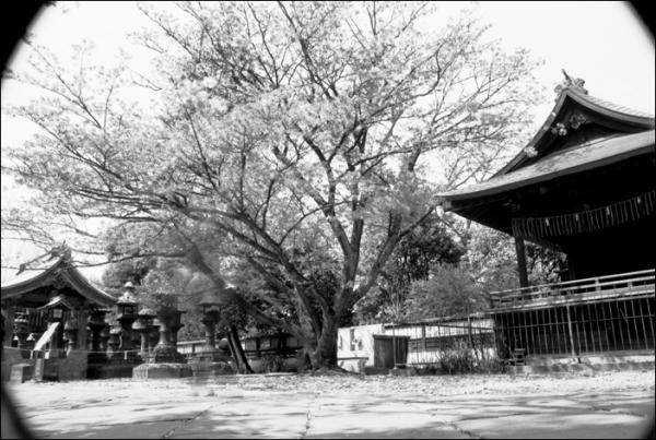ueno cherry blossoms sakura japanese garden さくら