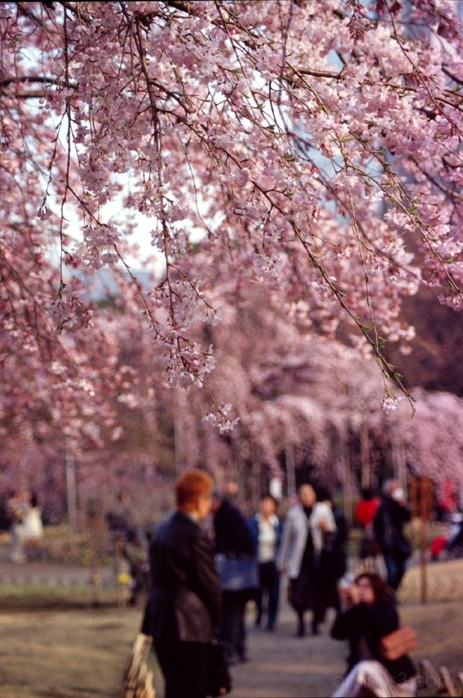 桜 花見 sakura hanami cherry blossoms tokyo japan flo