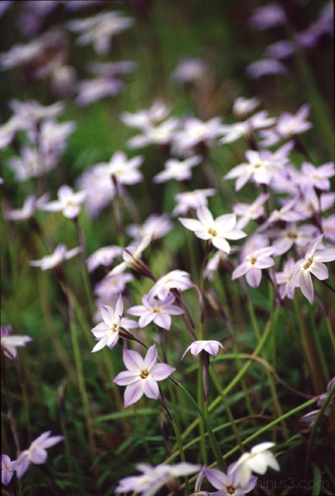 カタクリ dogtooth violet flower 花
