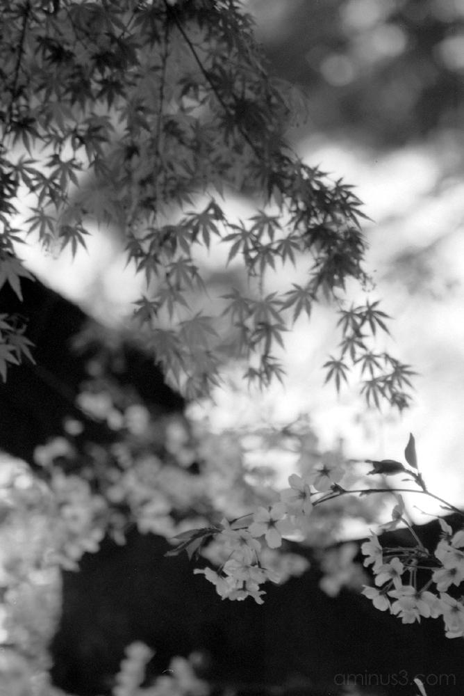 もみじ 紅葉 桜 花見 上野 公園 ueno hanami flowers 花 sakura
