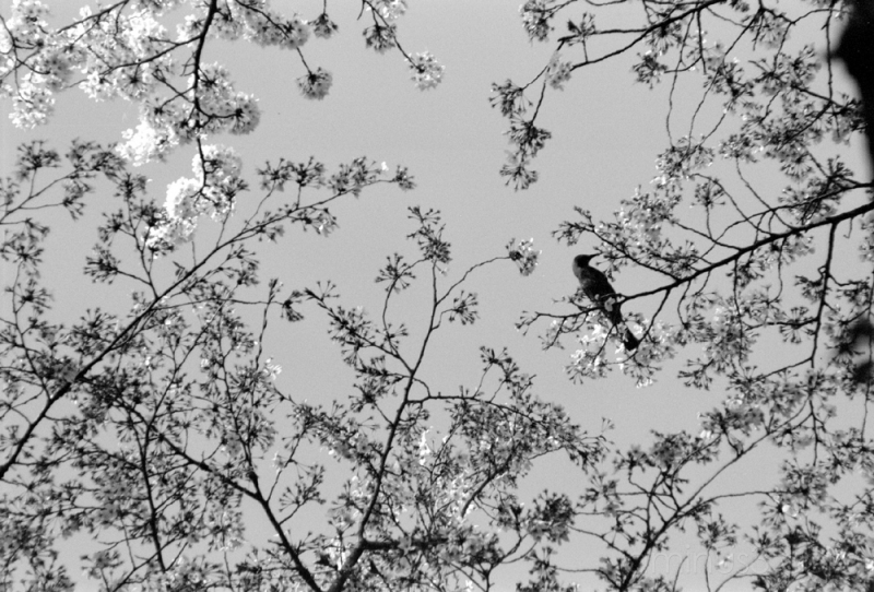 bird flower tree sakura hana 桜 花 木 鳥 벚꽃 樱桃 الكرز