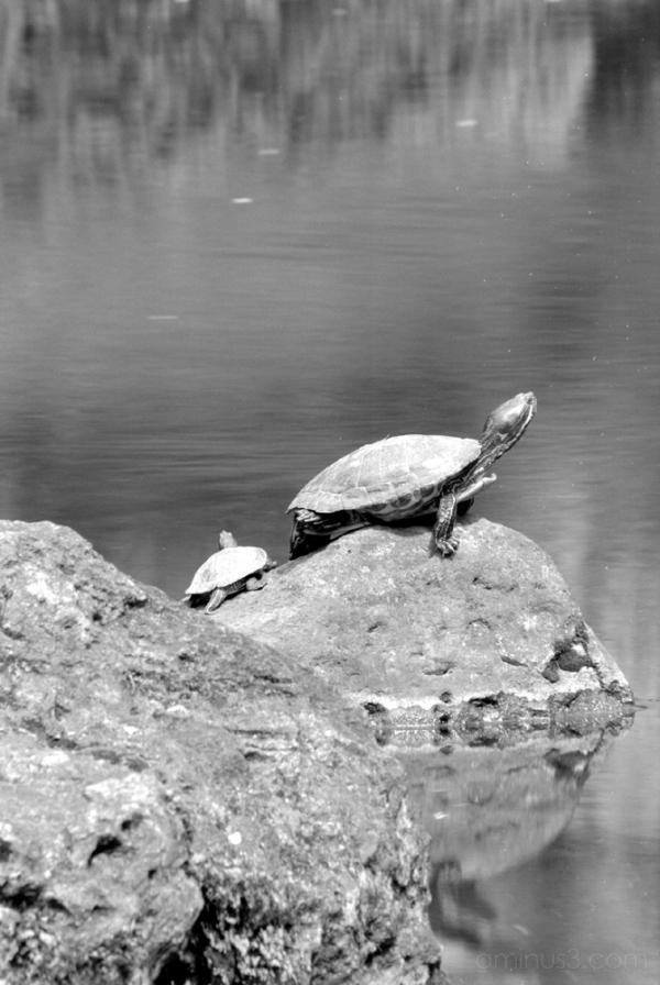 turtle pond tokyo nezu 亀 池 根津 ねず tortuga 거북 سلحفاة