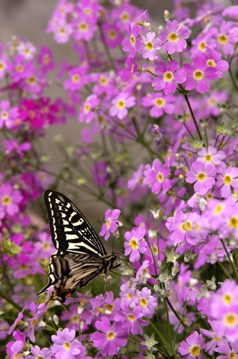 flower butterfly pink flowerpot pot チョウ 亀戸