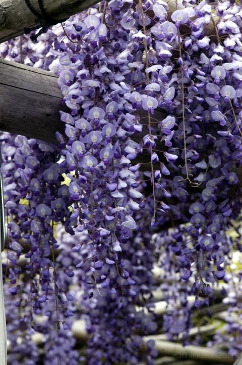 flower purple wisteria 花 藤 亀戸 亀戸天神社