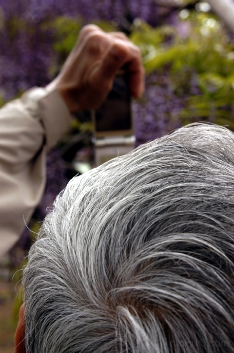 flower purple wisteria kameido 亀戸 藤 花 紫 亀戸天神社 cell