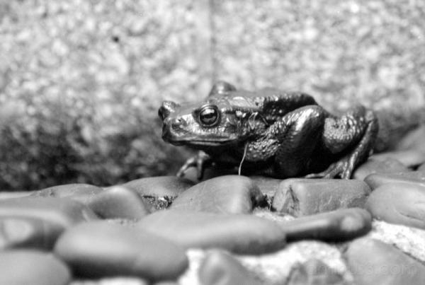 frog lizard ueno かえる 蛙 on stones
