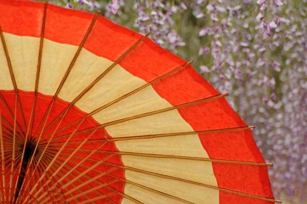 umbrella flowers wisteria japan oil paper