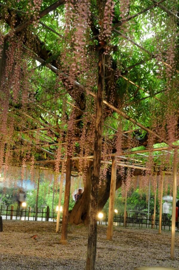 umbrella flowers wisteria japan oil paper 藤 足利フラワー