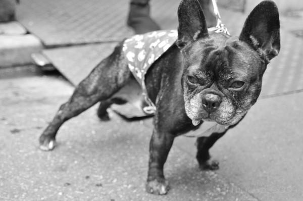 dog pug パグ 犬