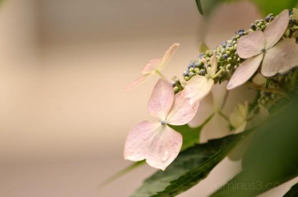 hydrangea flower 花 あじさい 紫陽花 ueno 上野 yanaka 谷中