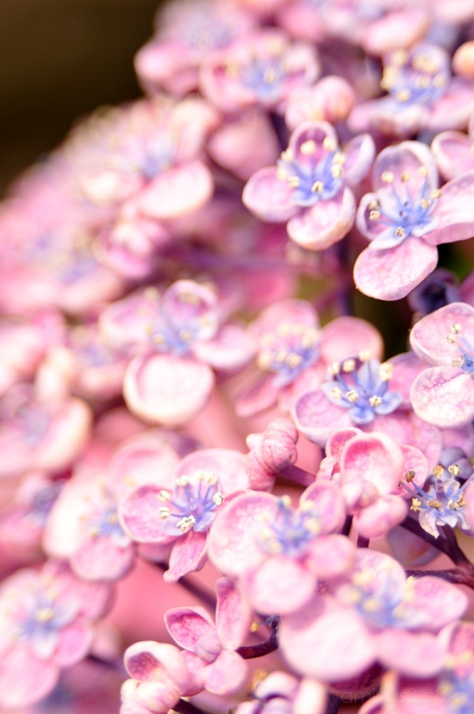 hydrangea flower 花 あじさい 陽花 shinagawa 品川