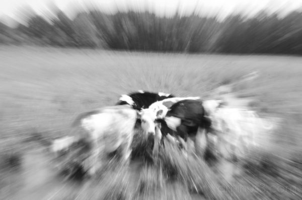 blurred cow 曇り牛 (Massachusetts, USA)