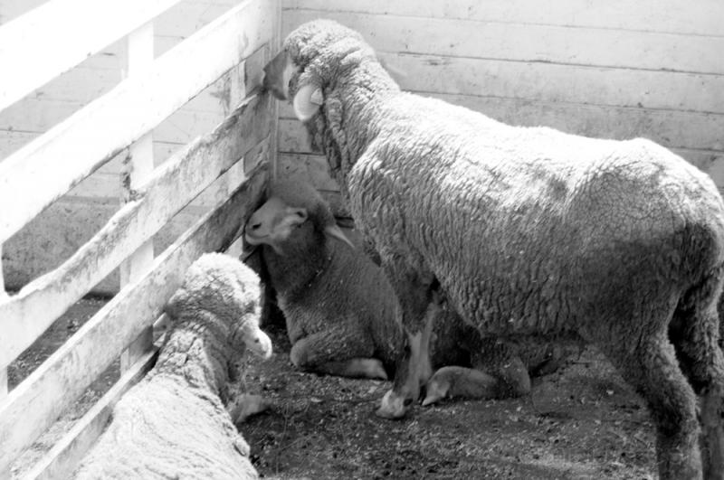 shaker sheep