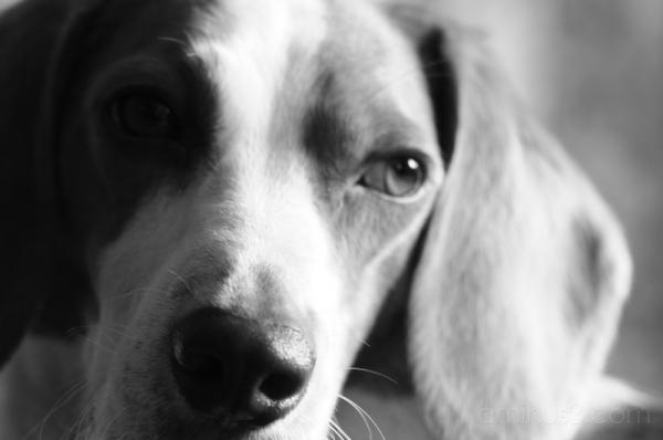 ビーグル beagle dog 犬