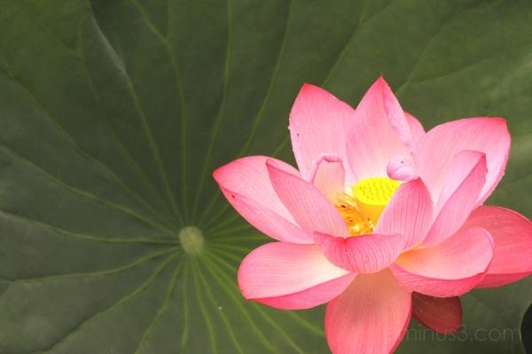 lotus flower ueno pond 池 花 蓮 はす 上野 不忍池 shinobazu