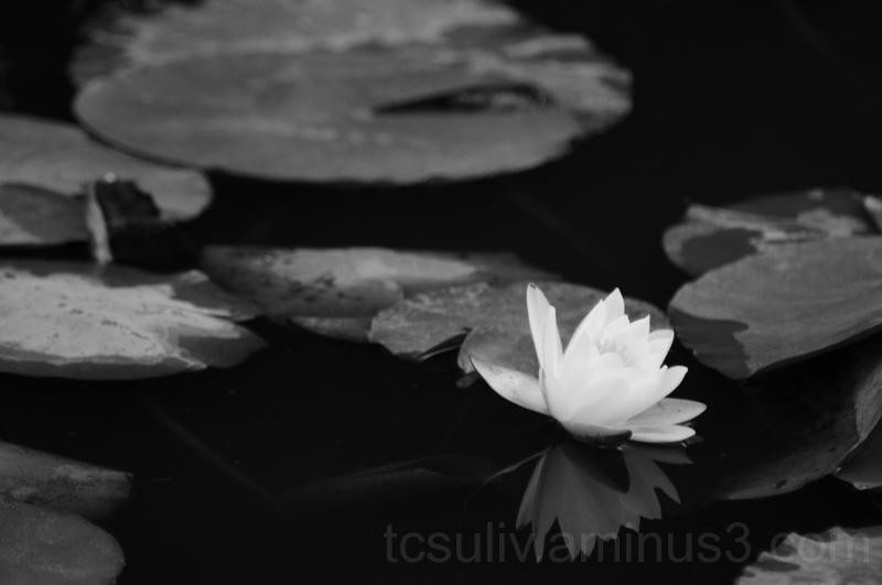 三渓園 sankeien 横浜 池 花 flower pond water lily