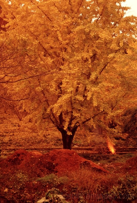 fall colors leaves tree銀杏gifu 岐阜 ginkgo matsuo 松尾池