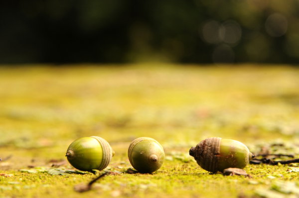 acorn どんぐり ドングリ 新宿御苑 新宿 shinjuku shinjuku-gyoen
