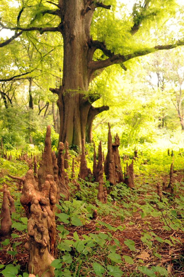 tree shinjuku gyoen 木 新宿御 ラクウショウ 新宿 aerial roots
