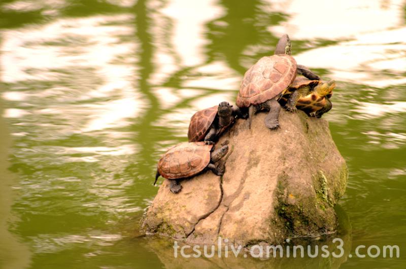 temple turtle kameido 亀戸 寺 亀 亀戸天神 tenjin tortue